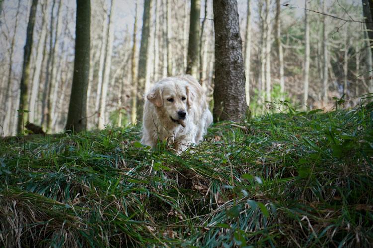 Promenade chien forêt