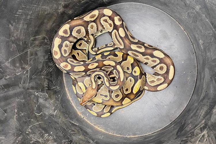 pythons découverts à Biscarrosse